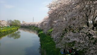 北越谷元荒川堤の桜