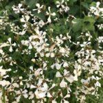 十字の白い花